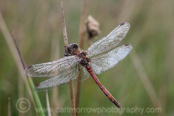 Common Darter Dragonfly (male)