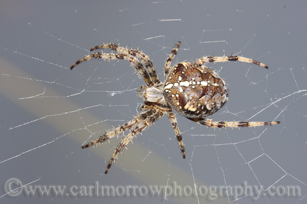 A Garden spider in it's web.