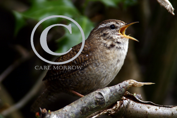 Wren in full song