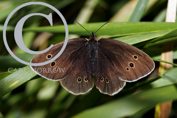 The Ringlet Butterfly
