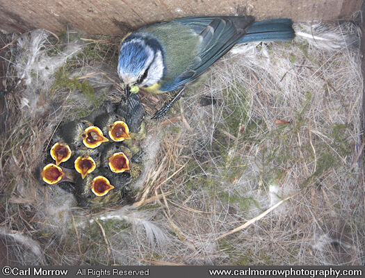 Blue Tit feeding young at the nest (under NPWS permit)