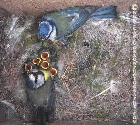 Blue Tits feeding chicks at the nest (under NPWS permit)