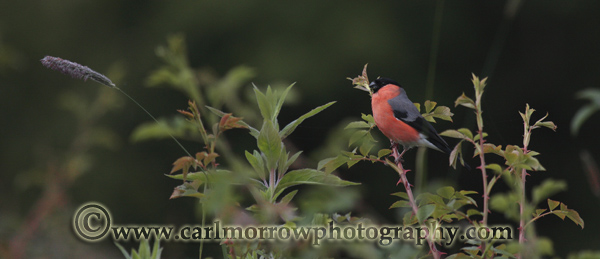 Male Bullfinch feeding on a hedgerow leaf buds.