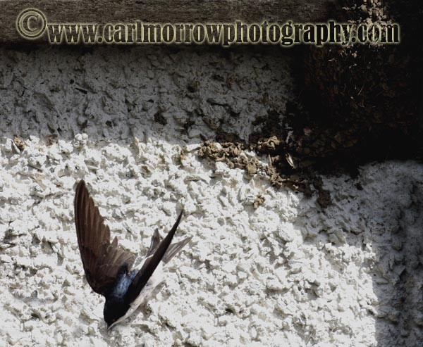 House Martin leaving the nest.