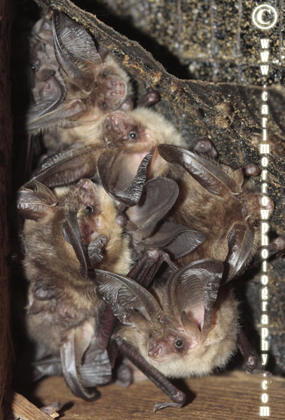 A roost of juvenile Brown Long Eared Bats