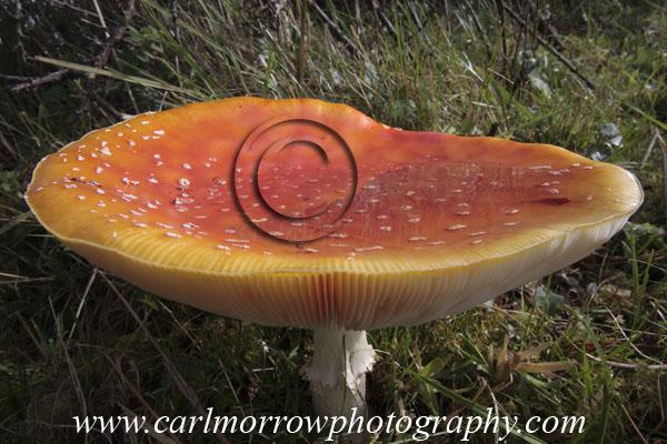 Fly Agaric Fungus.