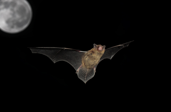 Pipistrelle Bat on the Hunt