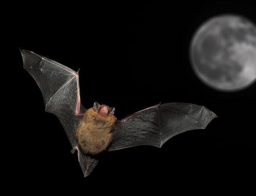 Pipistrelle Bat