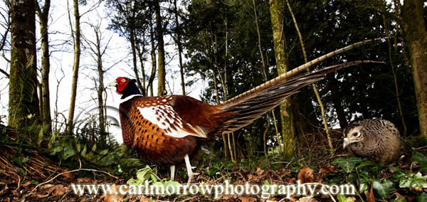 Male and Female Ring Necked Pheasant