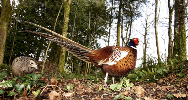 Ring Necked Pheasant (female and male)