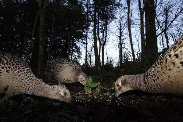 Ring Necked Pheasant (females)