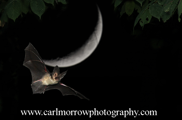 Brown Long Eared Bat.