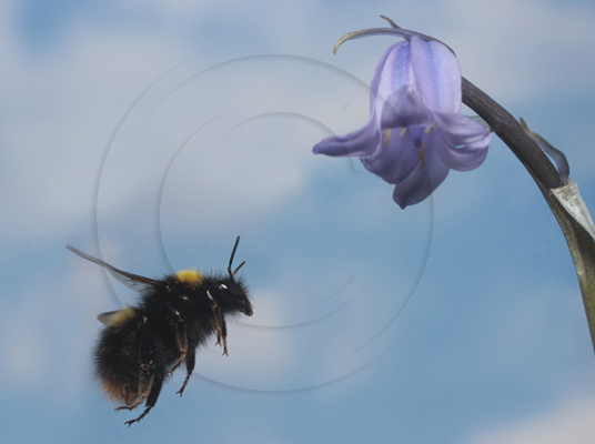 Bumblebee flying to a Bluebell for nectar.