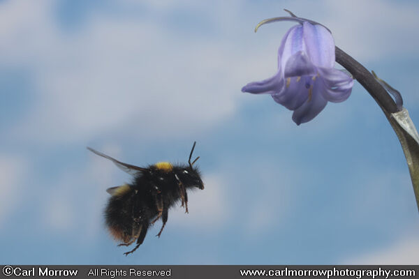 Bumblebee in mid flight.