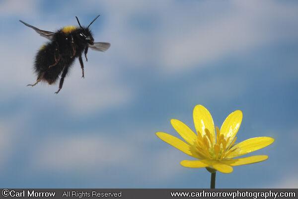Bumblebee in mid flight.