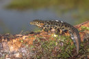 Smooth Newt (male)