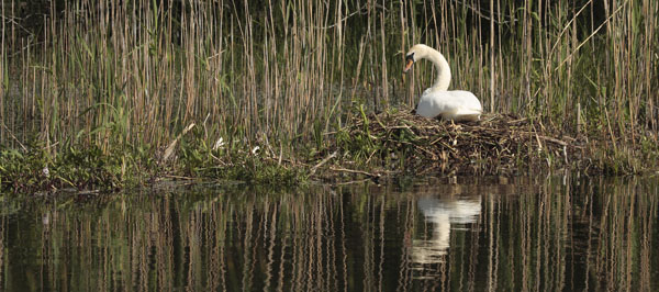 Mute Swan on the Nest.