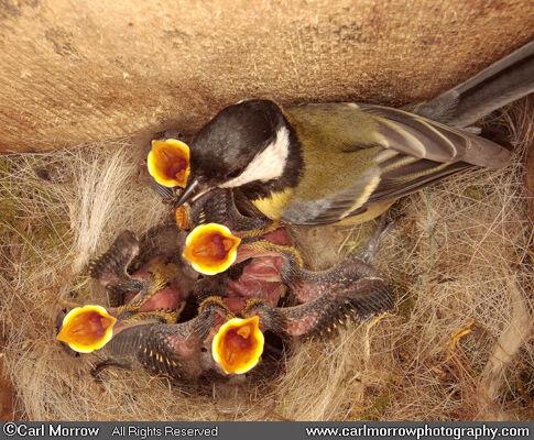Great Tit feeding chicks at the nest (under NPWS permit)