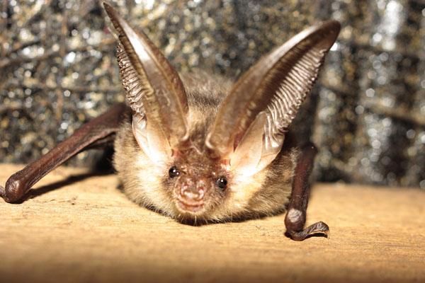 Brown Long Eared Bat (juvenile)