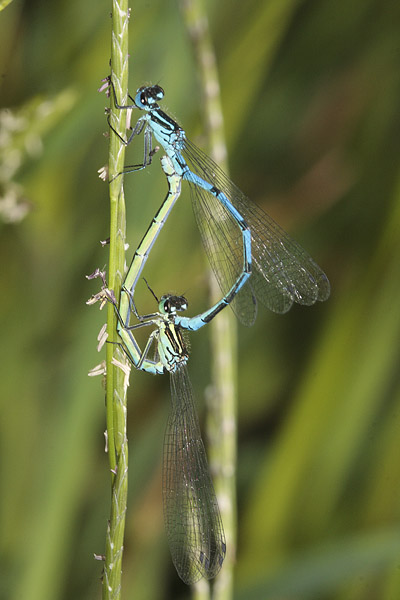 Mating Damselflies.