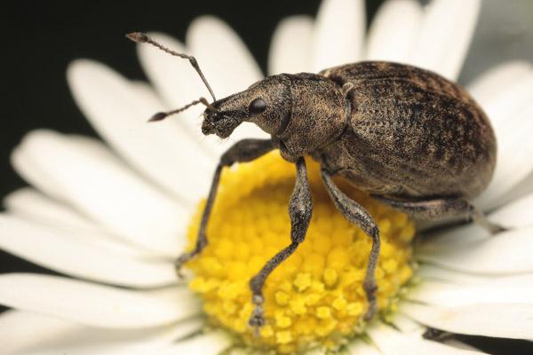 Broad Nosed \weevil