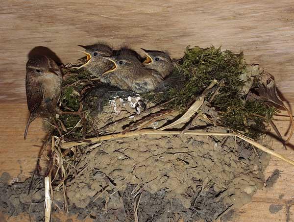 Wren feeding chicks at the nest.