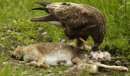 Common Buzzard on a kill
