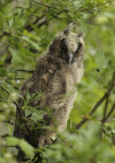 long eared owl chck
