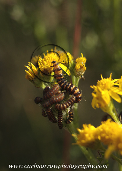 Cinnabar Moth Caterpillars on Ragwort.