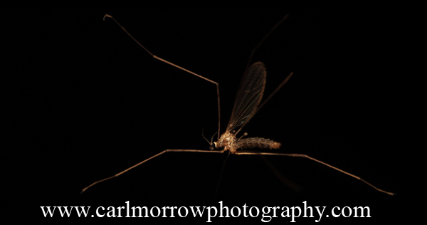 Mosquito in mid flight.