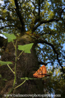 Feathered Thorn Moth (Colotois pennaria) and a mighty Oak Tree.