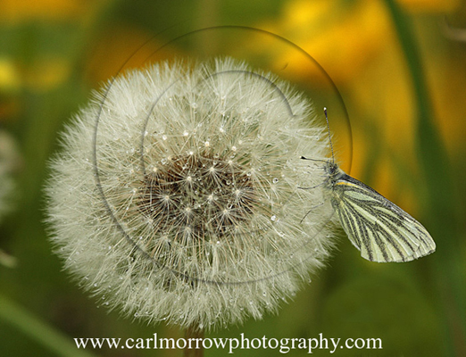 Green Veined White Butterfly on a dandelion seed head.