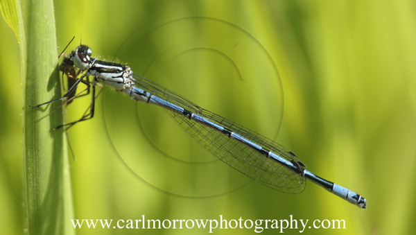 Blue Damselfly feeding on a mosquito.
