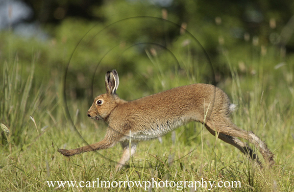 Irish Hare on the run.