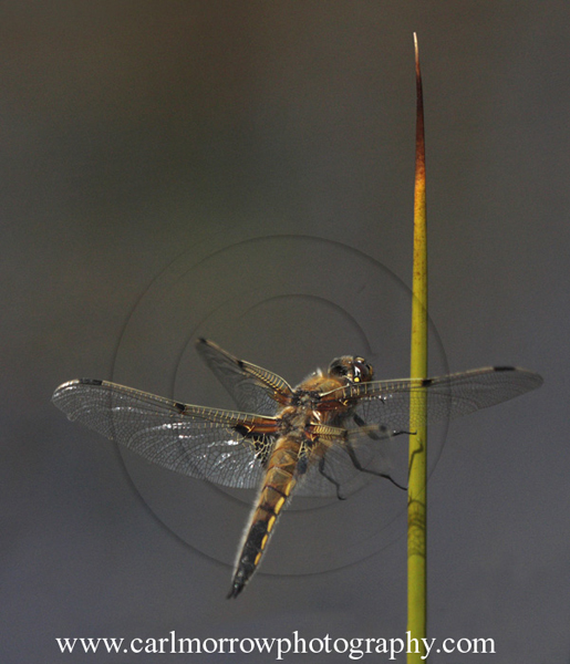 Four Spotted Chaser Dragonfly in flight about to land on a Rush stalk.