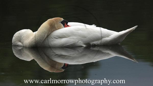 Sleeping Mute Swan