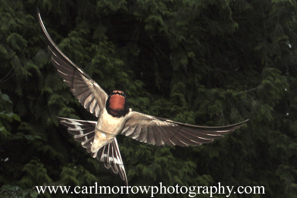Swallow in mid-flight