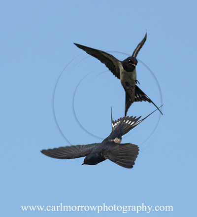 Swallows play-fighting.