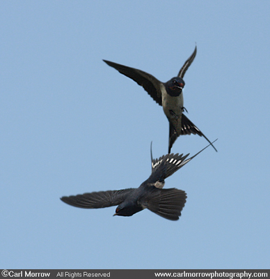 Duelling Swallows