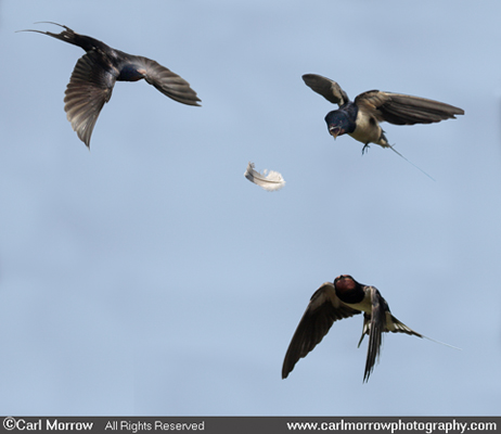 Rival Swallows compete for a feather to use for nesting.