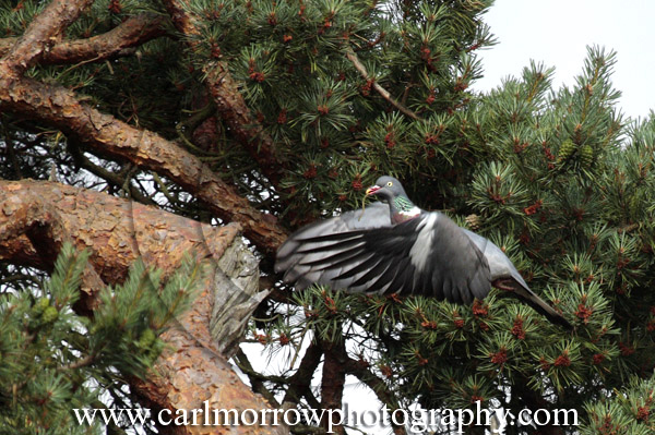 Woodpigeon in flight.