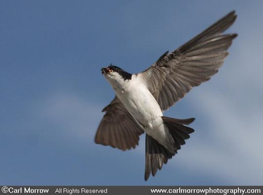 House Martin in flight