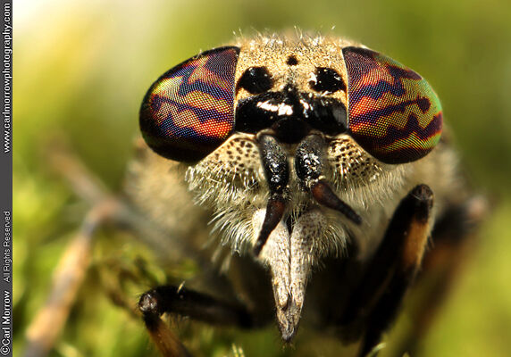 Horse Fly or Cleg