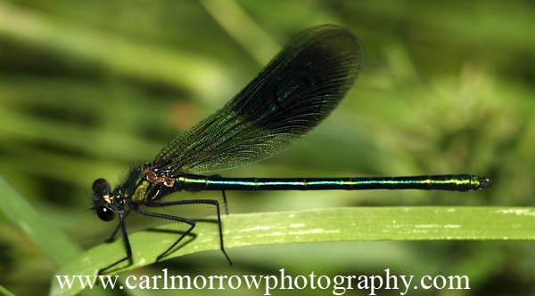 Banded Demoiselle Damselfly (male)