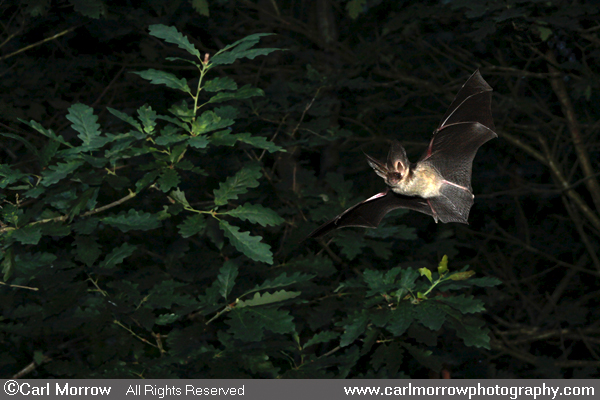 Brown Long Eared Bat