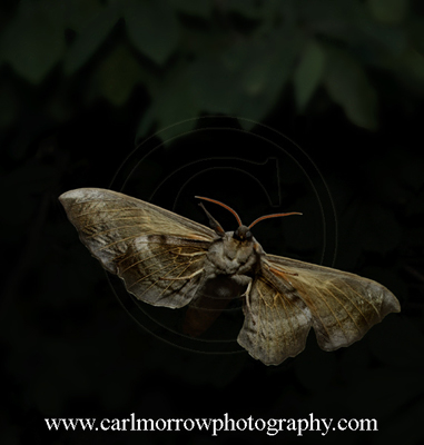 Poplar Hawk-moth.