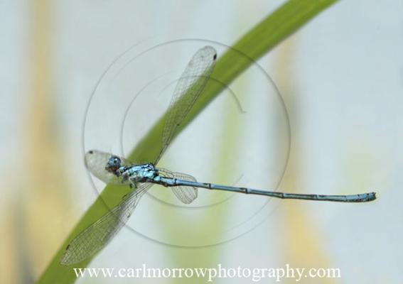 Common Blue damselfly in mid flight.
