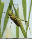 Grasshopper (mid leap)