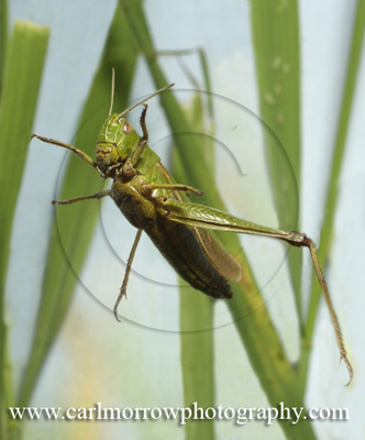 Grasshopper, photographed mid-leap.