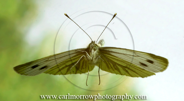 Green Veined White Butterfly in mid-flight.